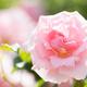 バラまつりが開催されるスポットも!見頃なバラの名所4選|新潟県