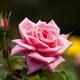 今が見頃!バラの香りに癒されよう!バラの綺麗な名所4選|静岡