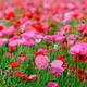 北海道ももうすぐ見頃!ポピーの花畑が見逃せない、おすすめの名所2選