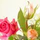 父の日にちょうど見頃を迎えるバラ!家族で見に行こう!|神奈川