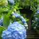 雨上がりの美しさはまた格別!茨城県であじさいが観賞できる庭園3選
