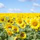夏といえばこの花!新潟で家族で行きたいひまわり畑の名所3選!