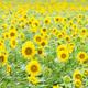 見わたすかぎりの黄色!北海道でおすすめな「ひまわり畑」3選