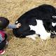 乳しぼりや動物とのふれあいがいっぱい!関東で魅力たっぷりの牧場4選
