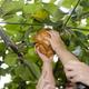 長野県にある子どもが安心して食べられる梨狩りスポット3選