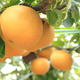 梨の収穫量日本一!千葉県の子連れで行きたい梨狩りスポット3選