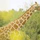 よこはま動物園ズーラシア「アフリカのサバンナ」など見どころ解説!