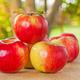 東京から日帰りで行けるリンゴ狩り!|埼玉・神奈川・静岡県