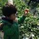 栃木県の「益子観光いちご団地」にいちご狩りにでかけよう!