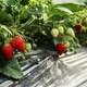 6種類以上食べ比べが魅力!相葉苺園のいちご狩り|千葉
