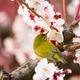 神奈川県は梅の花がそろそろ見頃!おすすめの名所3選