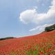 彩の国ふれあい牧場を満喫!有名なポピー畑やソフトクリームも|埼玉県
