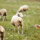 めえめえ牧場でできる!毛刈りや子羊とのふれあい体験|奈良県