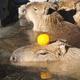 伊豆シャボテン公園はカピバラなど動物に会えて子連れにおすすめ!|静岡県