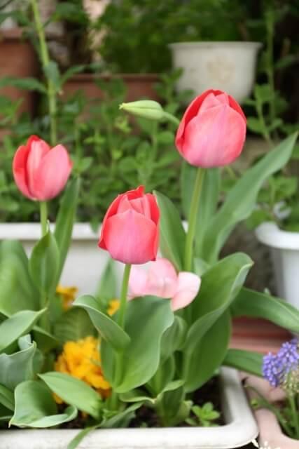 ピンクのチューリップ,花,栽培キット,簡単