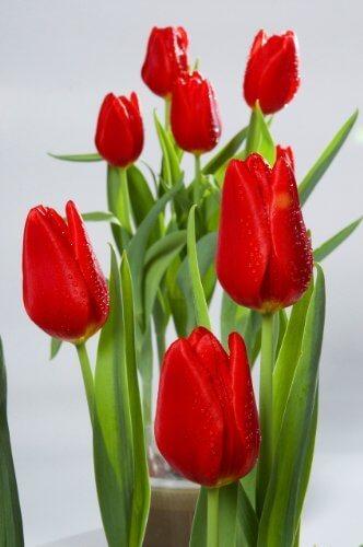 冬季限定 ウインターチューリップ 水耕栽培キット,花,栽培キット,簡単