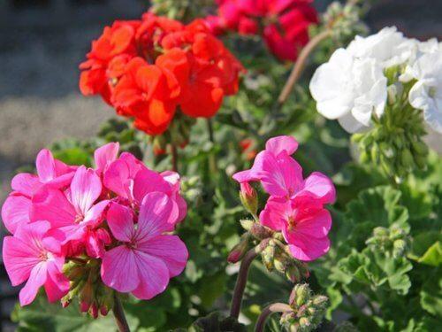 ぜラニウム 10.5cmポット,花,栽培キット,簡単