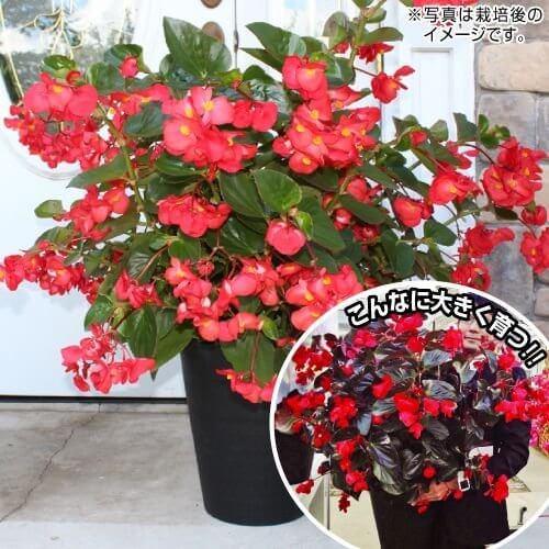 国華園 ベゴニア レッドグリーンリーフ 1株,花,栽培キット,簡単