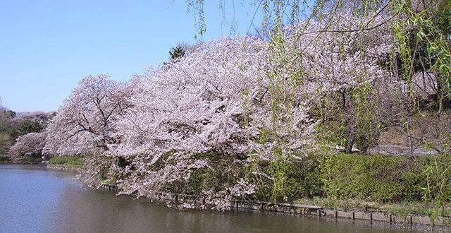 県立三ツ池公園の桜,,,