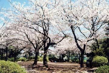 野毛山公園の桜,,,