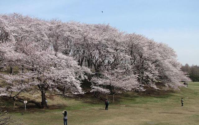 根岸森林公園、桜,神奈川,花見,名所