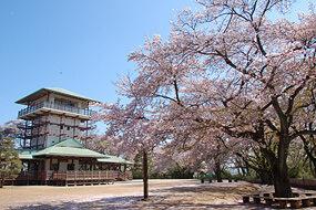 生田緑地、桜,神奈川,花見,名所