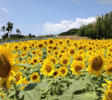 浜名湖ひまわり祭,ひまわり畑,静岡県,名所