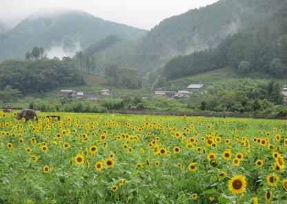 桂山(かやま)のひまわり畑,ひまわり畑,静岡県,名所