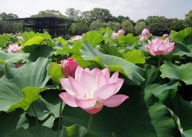 ハスの花,花,植物園,大阪