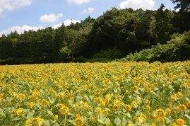 追分市民の森,神奈川,ひまわり,名所