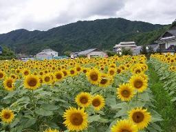 平谷村 ひまわり畑,長野県,ひまわり畑,名所