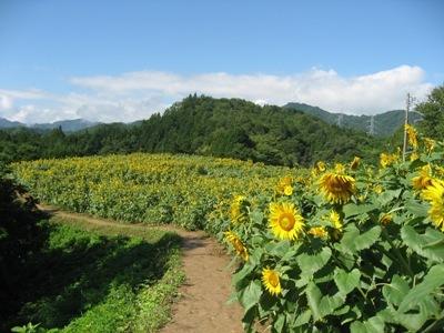 野良舞夏ひまわり倶楽部平石農場,長野県,ひまわり畑,名所