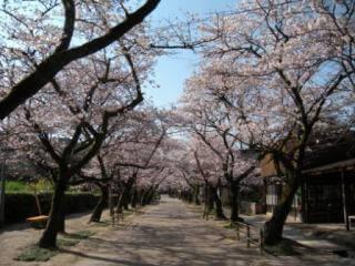 秋月 杉の馬場通りの桜,福岡,お花見,ランキング