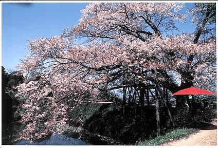 浅井の一本桜,福岡,お花見,ランキング