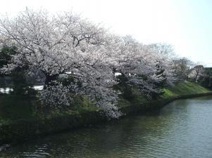 舞鶴公園の桜,福岡,お花見,ランキング