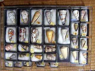 貝の標本,自由研究,簡単,小学生