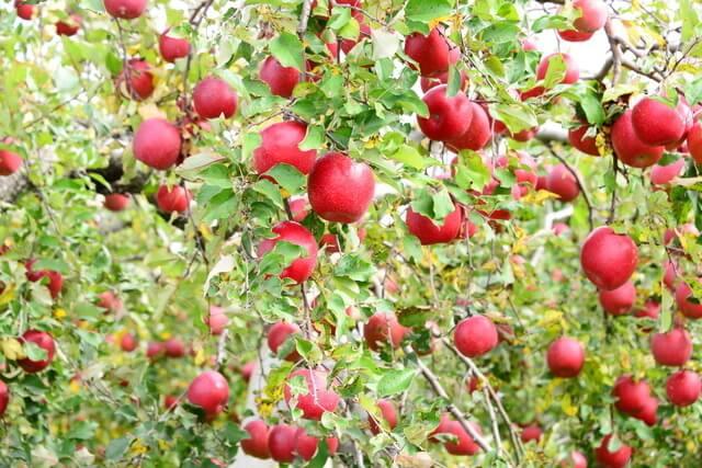 りんごの木,秋,味覚狩り,