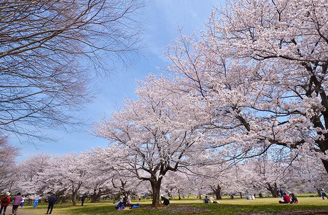 国営昭和記念公園の桜の園,都内,お花見,バーベキュー