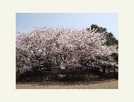舎人公園のレーガン桜,都内,お花見,バーベキュー