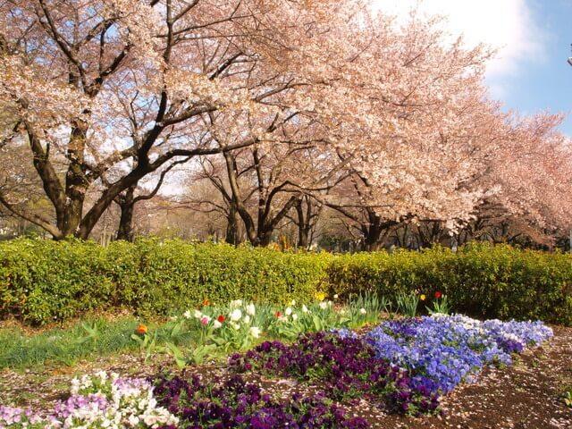 府中の森公園の桜,都内,お花見,バーベキュー