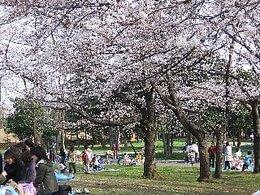 篠崎公園の桜,都内,お花見,バーベキュー