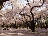小金井公園の桜の園,都内,お花見,バーベキュー