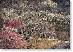 三岳梅林公園,福岡,植物園,おすすめ