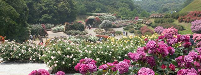 響灘緑地(グリーンパーク)バラ園,福岡,植物園,おすすめ
