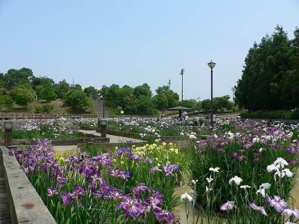 みやこ町花菖蒲公園,福岡,植物園,おすすめ