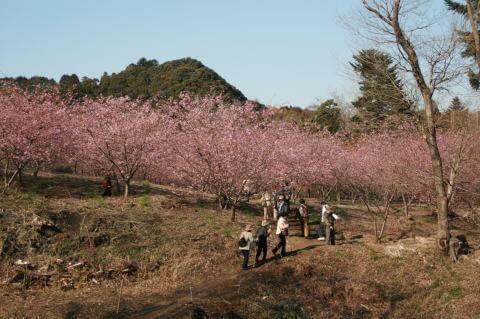 河津桜,旅名観光農園,フルーツ村,