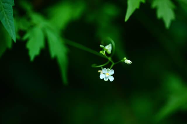 フウセンカズラの花,フウセンカズラ,育て方,魅力