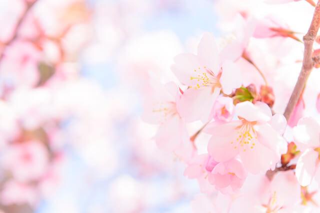 桜,品川シーズンテラス,ランチ,