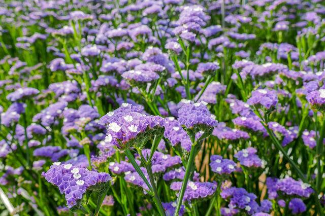 スターチス花畑,花摘み園チースの里,