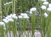 白いスターチス,花摘み園チースの里,